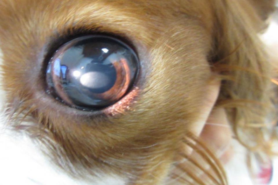 犬の角膜ジストロフィー