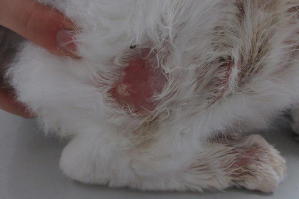 猫の好酸球性皮膚炎